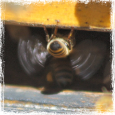 www.amazingbees.com.au