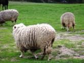 Sheep-506x379
